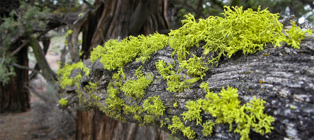 Lichen on juniper